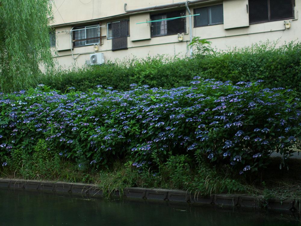 紫陽花 2014  中書島                         _f0021869_22474076.jpg