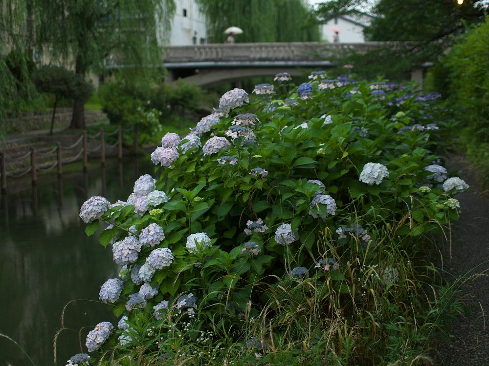 紫陽花 2014  中書島                         _f0021869_2248287.jpg