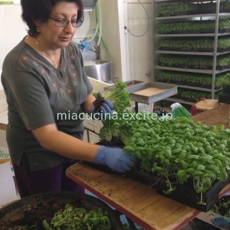 イタリア食旅行記⑤ 本場のバジリコ農家へ_b0107003_12234701.jpg