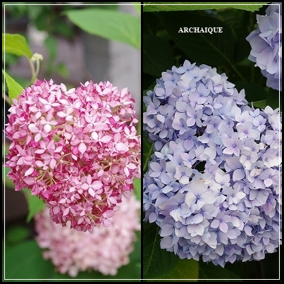 *アナベル:紫陽花*_c0207890_15161311.jpg