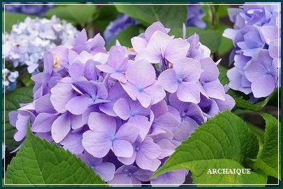 *アナベル:紫陽花*_c0207890_15164210.jpg