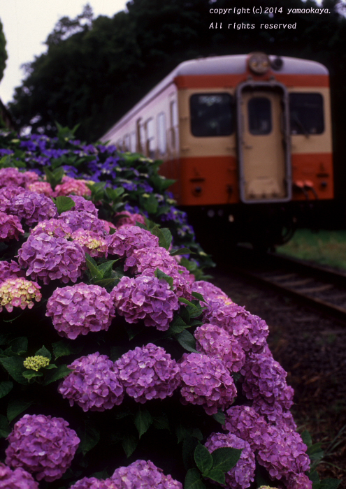 紫陽花の小路_d0309612_22141256.jpg