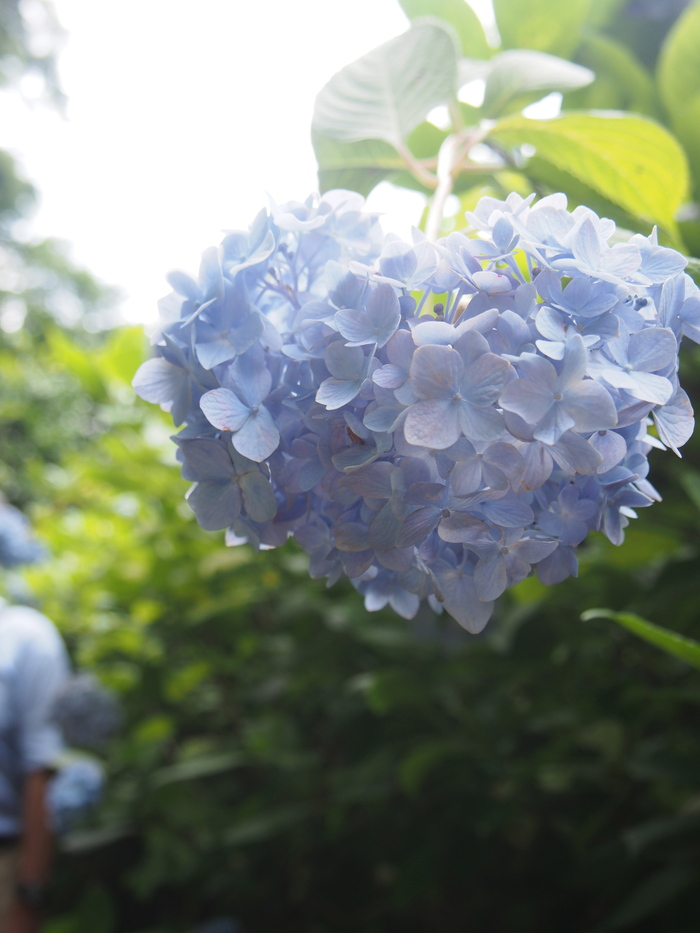 2014 6月 紫陽花散策 明月院_f0062122_721109.jpg