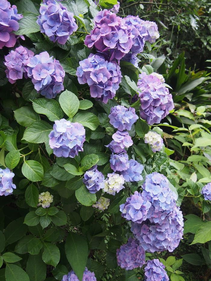 2014 6月 紫陽花散策 明月院_f0062122_7223562.jpg