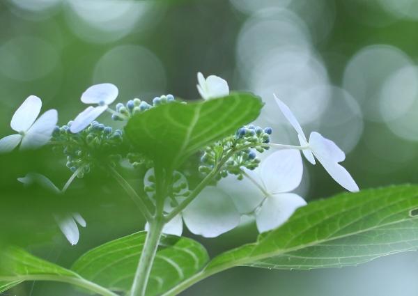 上三川 磯川緑地公園でアジサイ撮影会_e0227942_23034428.jpg