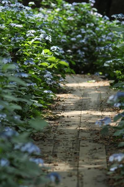 上三川 磯川緑地公園でアジサイ撮影会_e0227942_23105764.jpg