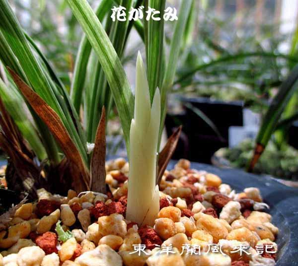 豆弁蘭「桃兜花」                   No.1409_d0103457_12314076.jpg