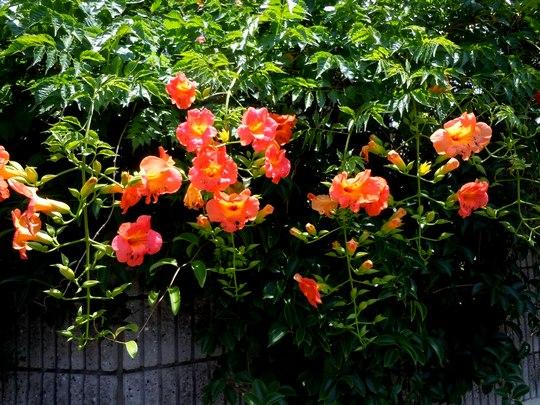 路傍の花、樹々の鳥(39) ~ 帰省の間に ・・・ ~_b0102572_16574269.jpg