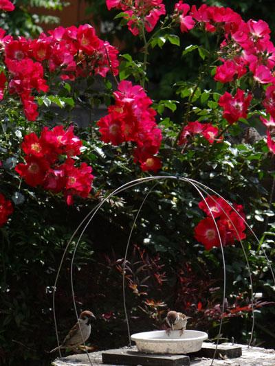 6月のバラ。 結構よく咲いてくれたかも~ ♪_a0136293_1549011.jpg