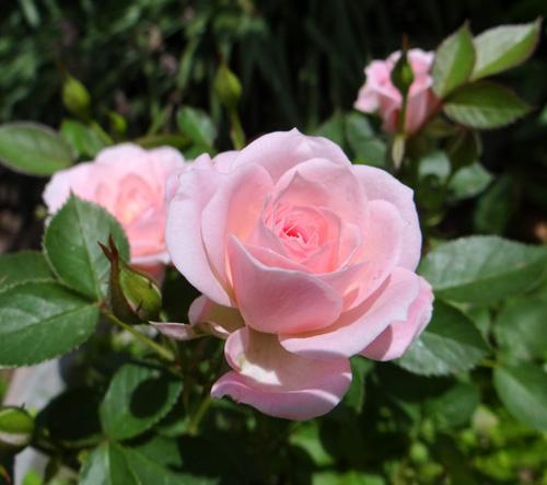 6月のバラ。 結構よく咲いてくれたかも~ ♪_a0136293_1549551.jpg
