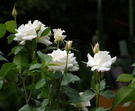 6月のバラ。 結構よく咲いてくれたかも~ ♪_a0136293_15535183.jpg