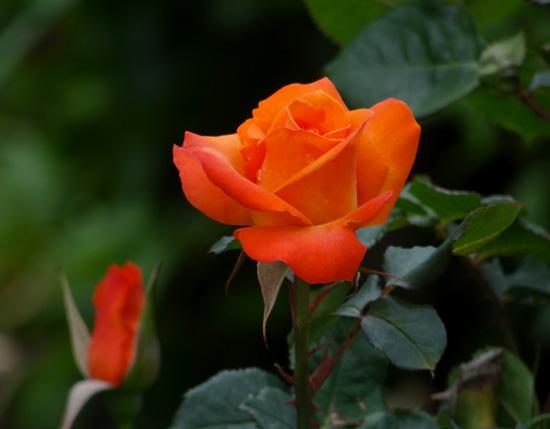6月のバラ。 結構よく咲いてくれたかも~ ♪_a0136293_15544695.jpg