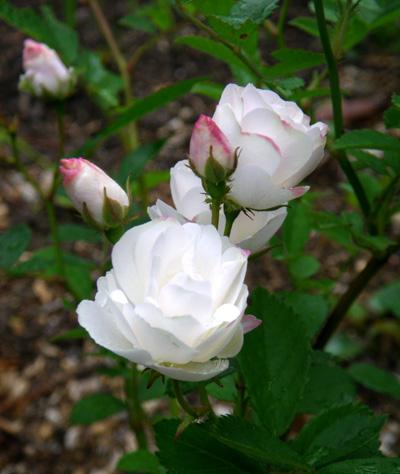 6月のバラ。 結構よく咲いてくれたかも~ ♪_a0136293_15563528.jpg