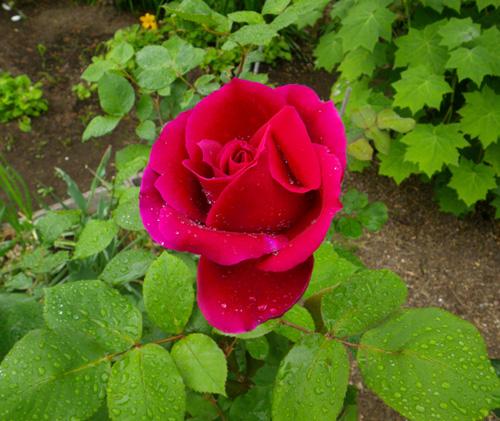 6月のバラ。 結構よく咲いてくれたかも~ ♪_a0136293_15593469.jpg