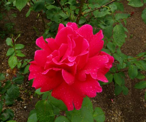 6月のバラ。 結構よく咲いてくれたかも~ ♪_a0136293_1604484.jpg