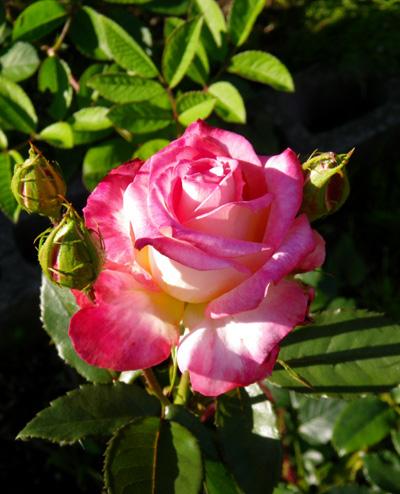 6月のバラ。 結構よく咲いてくれたかも~ ♪_a0136293_16102278.jpg