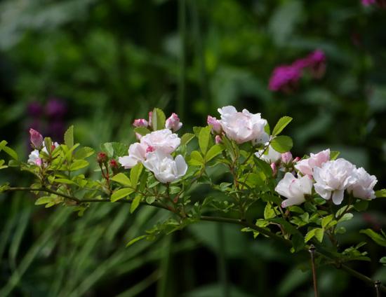 6月のバラ。 結構よく咲いてくれたかも~ ♪_a0136293_16112071.jpg