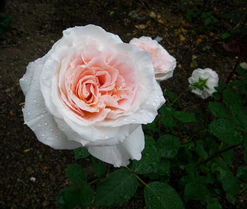 6月のバラ。 結構よく咲いてくれたかも~ ♪_a0136293_1614618.jpg
