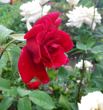 6月のバラ。 結構よく咲いてくれたかも~ ♪_a0136293_162274.jpg