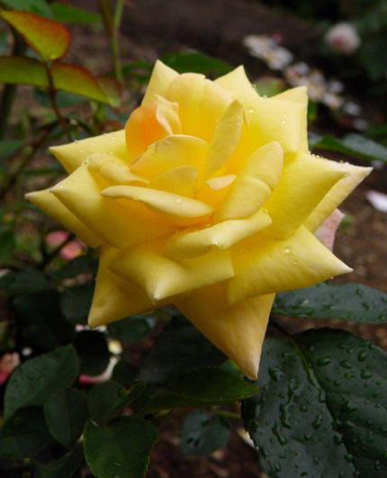 6月のバラ。 結構よく咲いてくれたかも~ ♪_a0136293_1643968.jpg