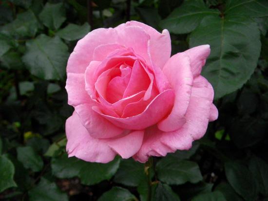 6月のバラ。 結構よく咲いてくれたかも~ ♪_a0136293_1655979.jpg