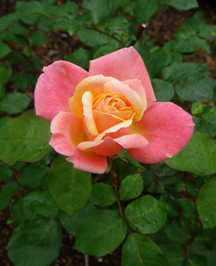 6月のバラ。 結構よく咲いてくれたかも~ ♪_a0136293_1673216.jpg