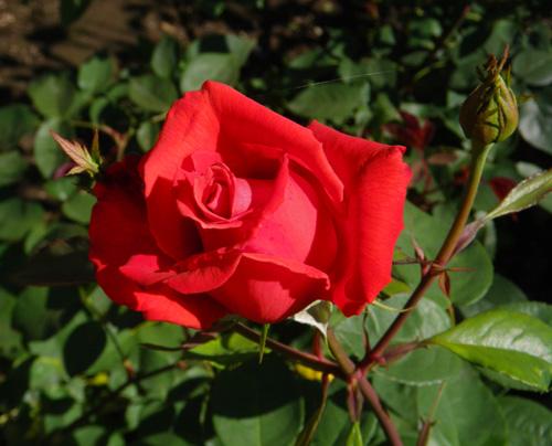 6月のバラ。 結構よく咲いてくれたかも~ ♪_a0136293_1694040.jpg