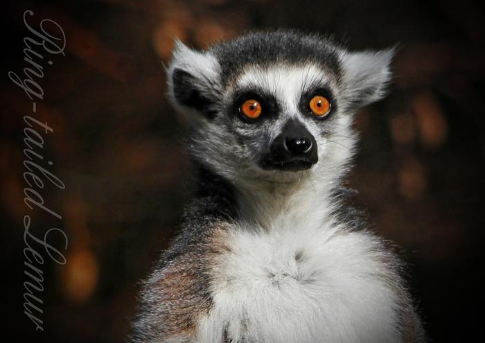 ワオキツネザル:Ring-tailed Lemur_b0249597_522329.jpg