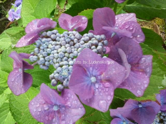 *雨に紫陽花*_a0201730_1534541.jpg
