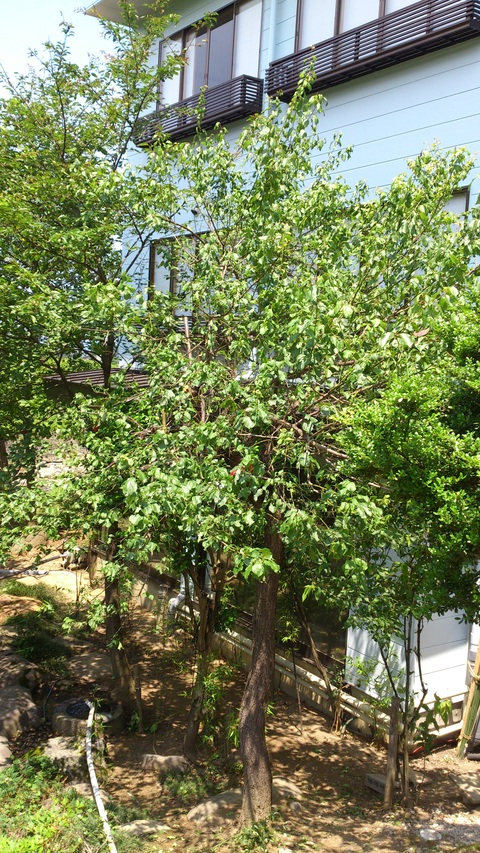 梅の収穫_d0182179_13322244.jpg