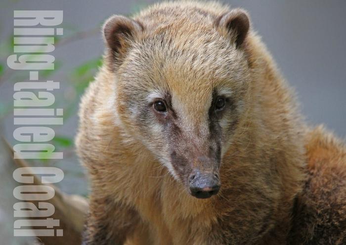 アカハナグマ:Ring-tailed Coati_b0249597_5184015.jpg