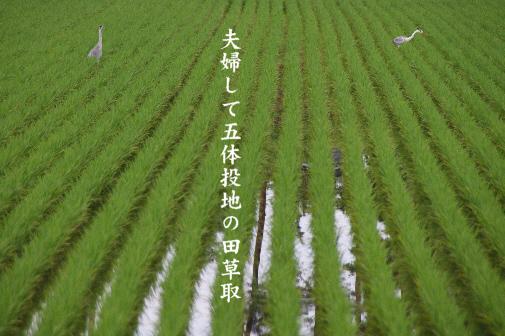 田草取_e0099713_0344964.jpg
