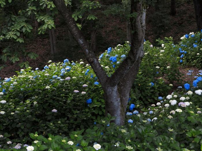 森の紫陽花_e0169421_21244994.jpg