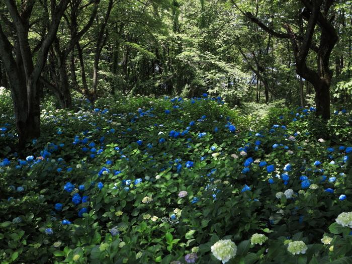 森の紫陽花_e0169421_21245389.jpg