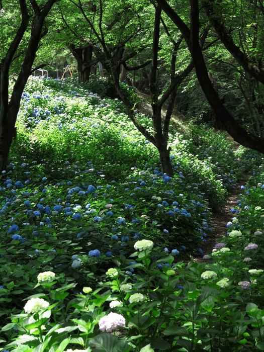森の紫陽花_e0169421_2125345.jpg