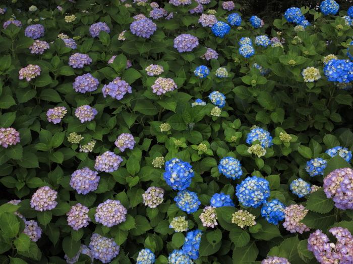 森の紫陽花_e0169421_21254576.jpg