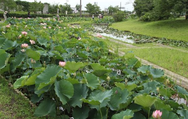 栃木市 つがの里のハスまつり2014_e0227942_20303282.jpg