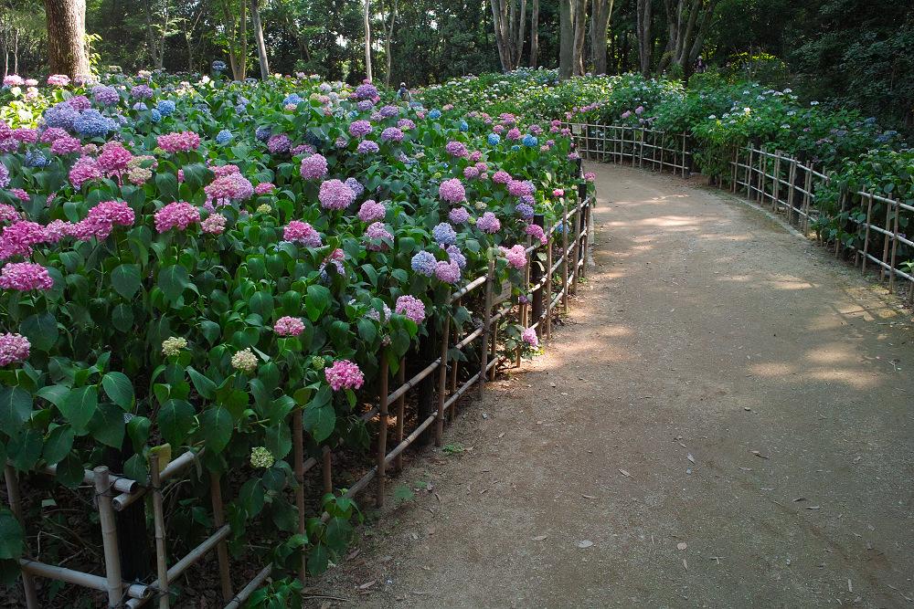 紫陽花 2014  万博公園                     _f0021869_0272848.jpg