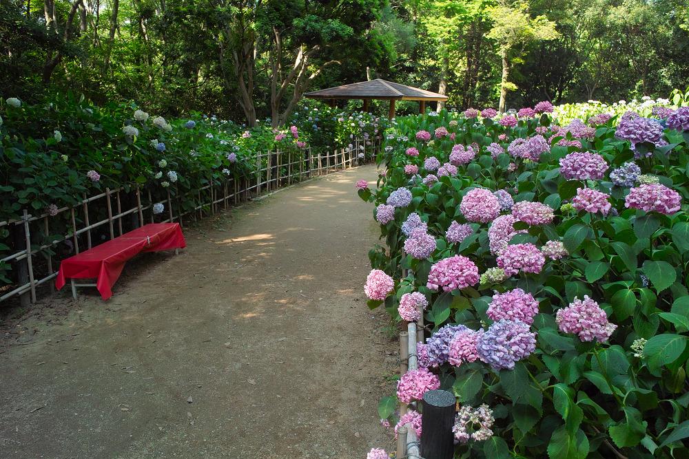 紫陽花 2014  万博公園                     _f0021869_0273646.jpg