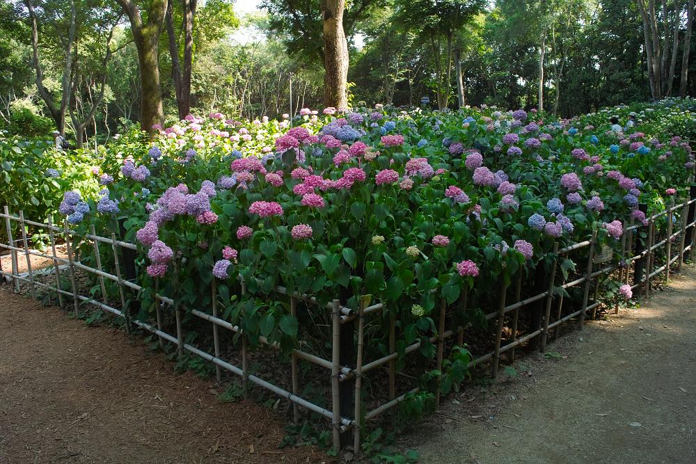紫陽花 2014  万博公園                     _f0021869_0274742.jpg