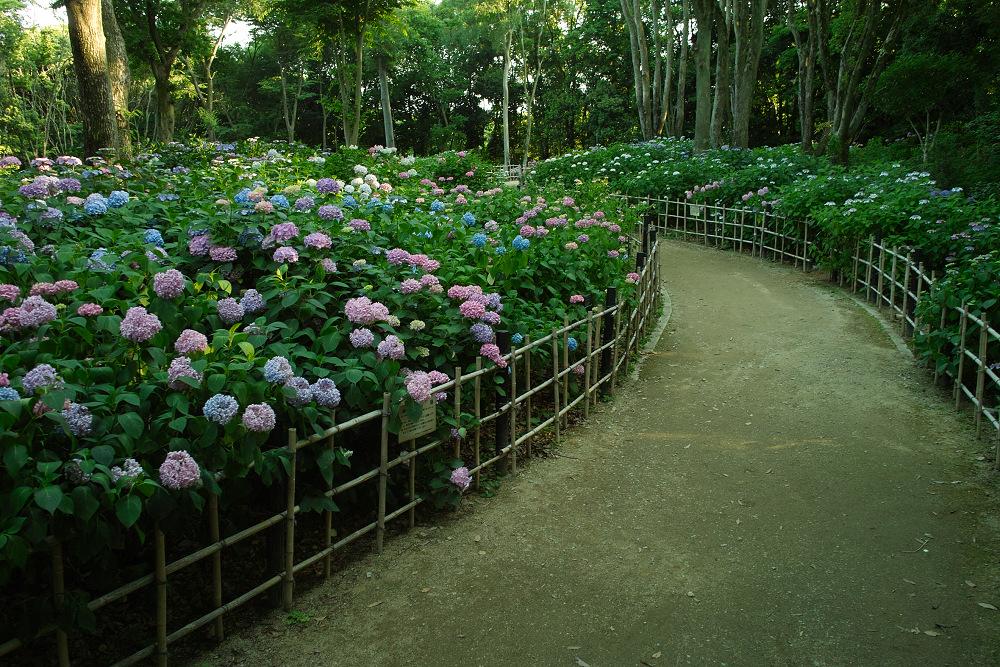 紫陽花 2014  万博公園                     _f0021869_0284558.jpg