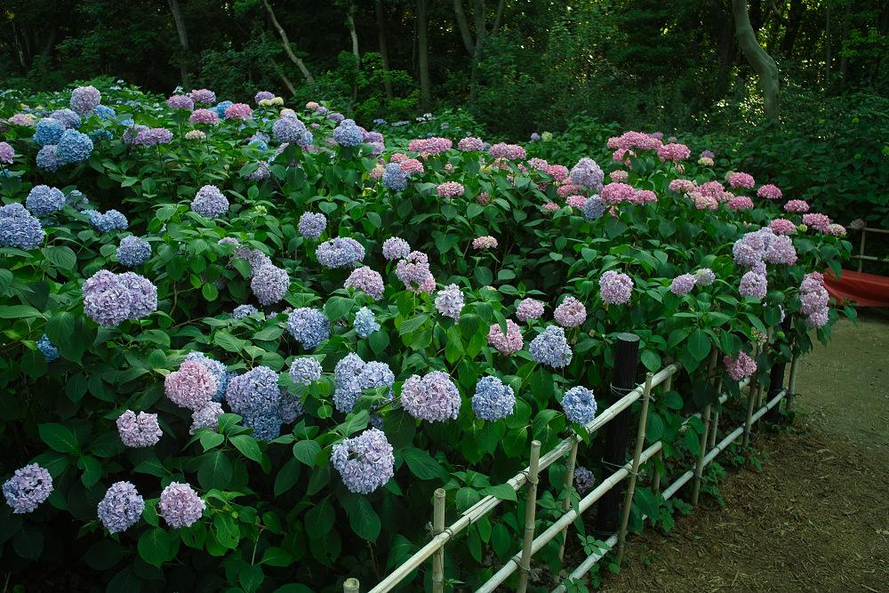 紫陽花 2014  万博公園                     _f0021869_0301680.jpg