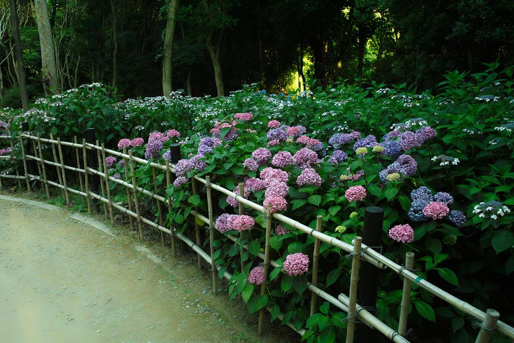 紫陽花 2014  万博公園                     _f0021869_0323744.jpg