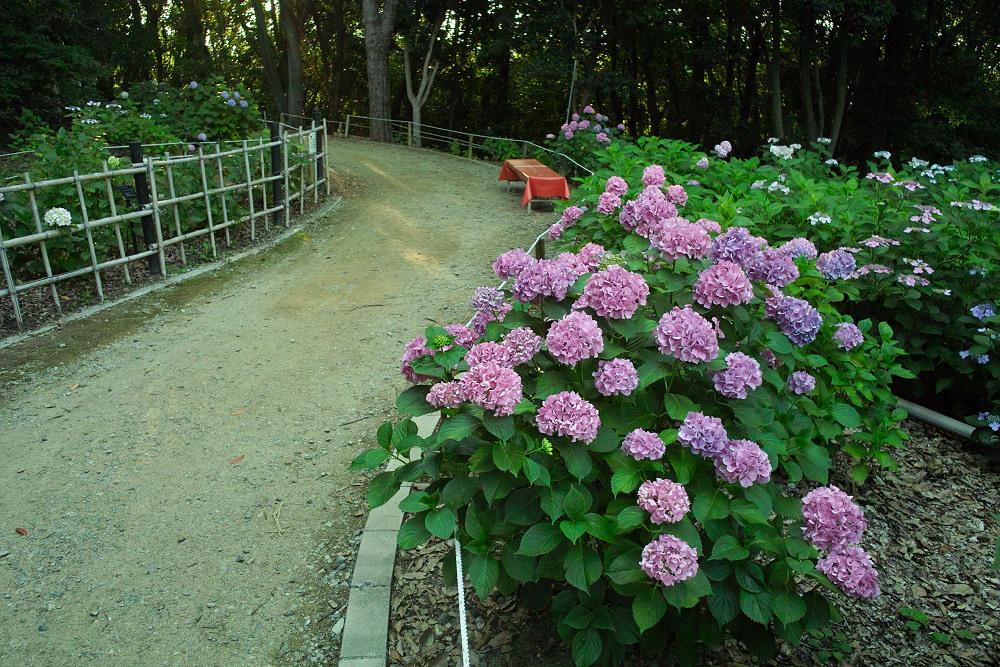 紫陽花 2014  万博公園                     _f0021869_0324274.jpg
