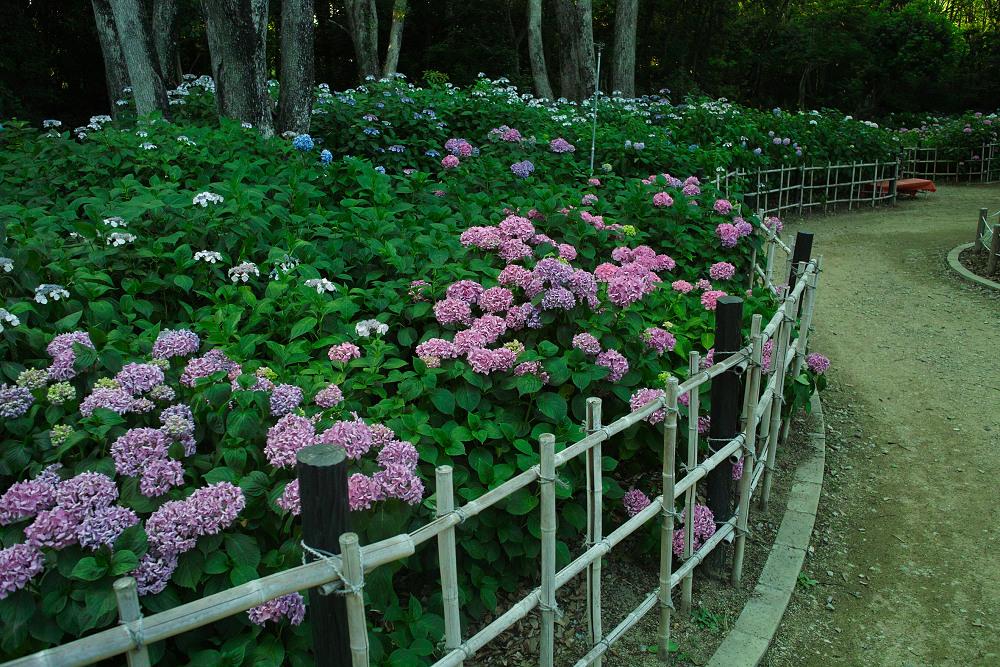 紫陽花 2014  万博公園                     _f0021869_033138.jpg