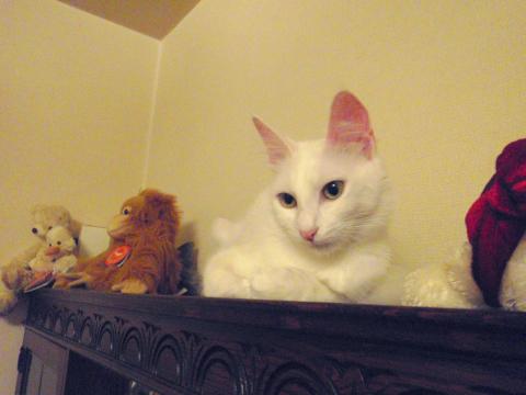 ターキッシュアンゴラ グリーンアイド ホワイト Green-Eyed White Turkish Angora Spay