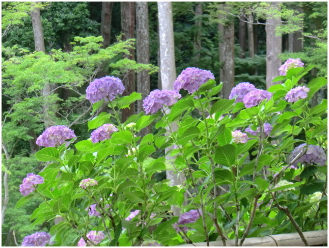 梅雨の晴れ間に長谷寺へ・・・紫陽花どやろ・・・その3、これで終わり_b0104092_16292594.jpg