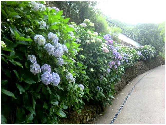 梅雨の晴れ間に長谷寺へ・・・紫陽花どやろ・・・その3、これで終わり_b0104092_16475376.jpg