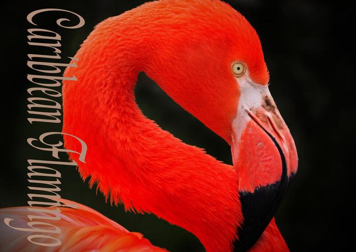 ベニイロフラミンゴ:Caribbean Flamingo_b0249597_5481042.jpg