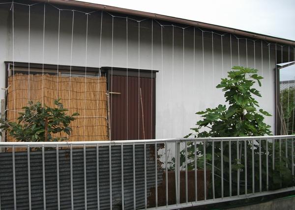 グリーンカーテン設置@トウモロコシの初収穫も _f0018078_17413481.jpg
